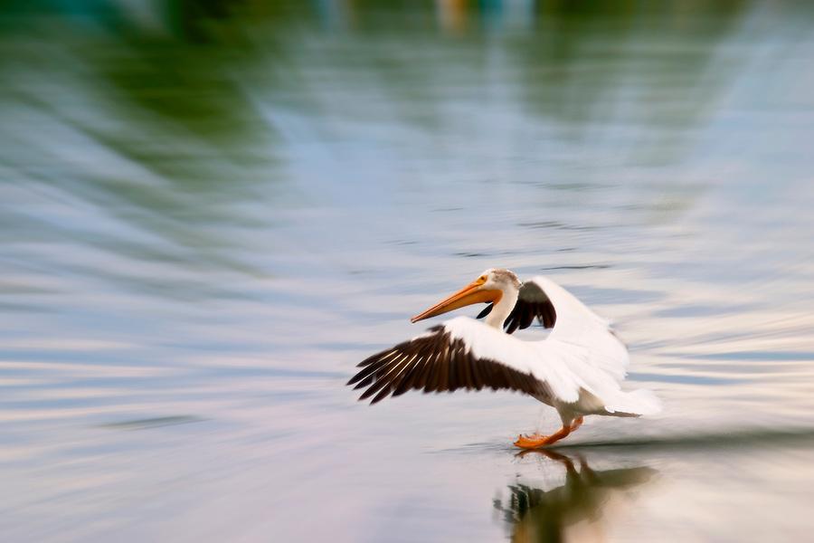 American white pelican landing on the Snake River, Oxbow Bend, Grand Teton National Park, Teton County, Wyoming, USA (digitally manipulated)