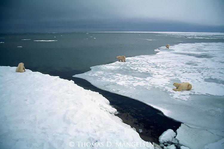 A group of polar bears at the edge of an ice field at Hudson Bay, Churchill, Manitoba, Canada.