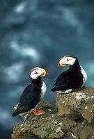 Horned Puffins, St. Paul Island, Pribilof Islands, Alaska
