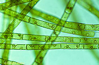 PX23-002a  Green Algae - Oedogonium  spp. 250x