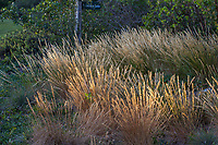 Melica californica, California native Melic grass in native plant garden, Leaning Pine Arboretum