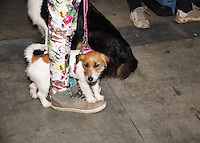 Puppy at the international dog show in prague may 2014, hiding between the owners feet, photographed in profile. Owner wearing sneakers and jeans with flowers.