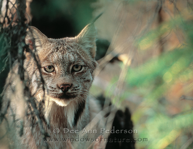 Canadian lynx, Lynx canadensis, Denali National Park, Alaska, USA
