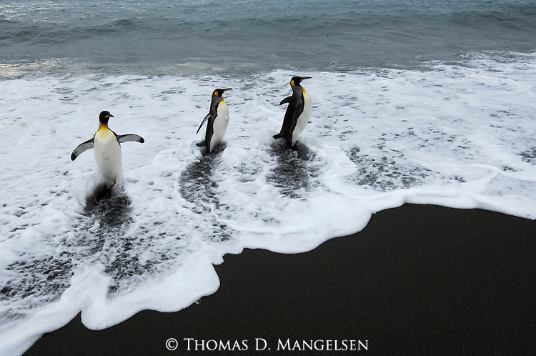 King penguins exiting the ocean in Gold Harbour on South Georgia Island.