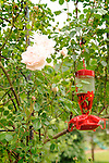 Humming bird feeder with rosa new dawn.