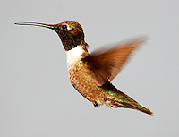 Adult male black-chinned hummingbird flying
