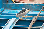 Black-crowned night heron in Hong Kong typhoon shelter.