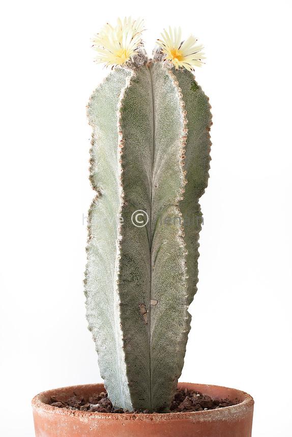 cactus mitre d'évêque variété columnare, Astrophytum myriostigma var. columnare // Bishop's Cap Cactus var. columnare, Astrophytum myriostigma var. columnare