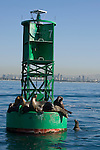 San Diego Bay, San Diego, California; California Sea Lions (Zalophus californianus) haul out of the water on a green channel marker buoy with the downtown skyline in the background