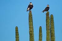 Caracara, Quelele or Bearded Vulture, is a genus of birds of prey in the family Falconidae, native to most of America.<br /> (Photo: LuisGutierrez / NortePhoto)<br /> <br /> Caracara, Quelele o Quebrantahuesos, es un género de aves de presa en la familia Falconidae, nativos de la mayor parte de América.