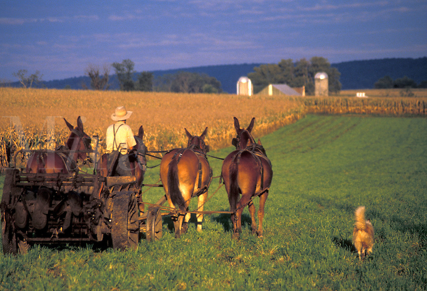 AJ2220, Amish, harvest, farming, Pennsylvania, Lancaster County, An Amish farmer is harvesting corn in a cornfield with a team of mules in Lancaster County.