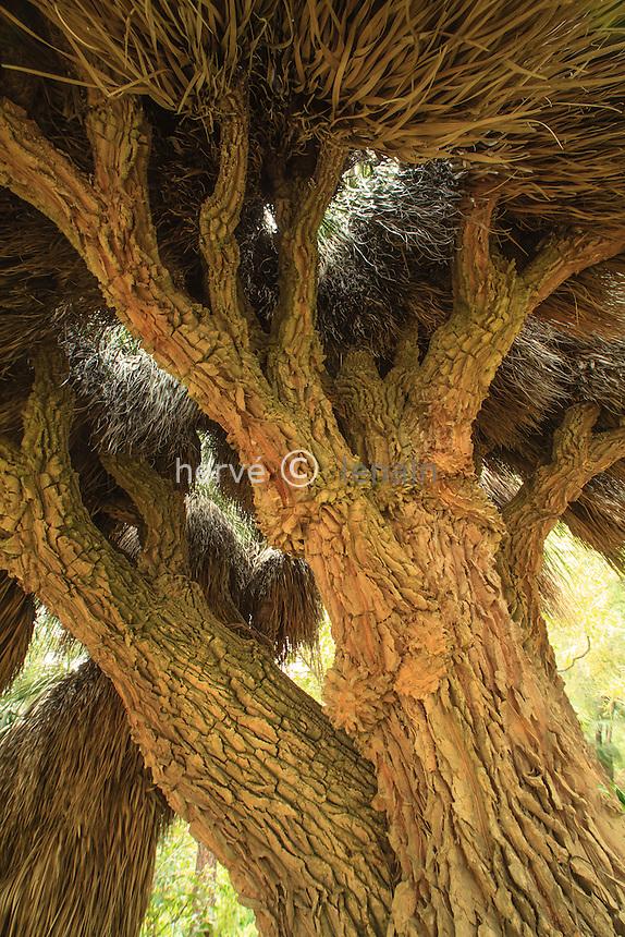 France, Alpes-Maritimes (06), Menton, jardin Serre de la Madone :.un exemplaire remarquable de noline à longues feuilles (Nolina longifolia).