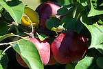 Apples on a Branch at the Orchard, New Hampshire USA