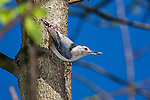 A Tiny Bird, The White Breasted Nuthatch Having A Sunflower Seed, Sitta carolinensis