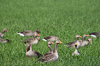 26.5.2020 Geese eating a cereal crop in Lincolnshire <br /> ©Tim Scrivener Photographer 07850 303986<br />      ....Covering Agriculture In The UK....