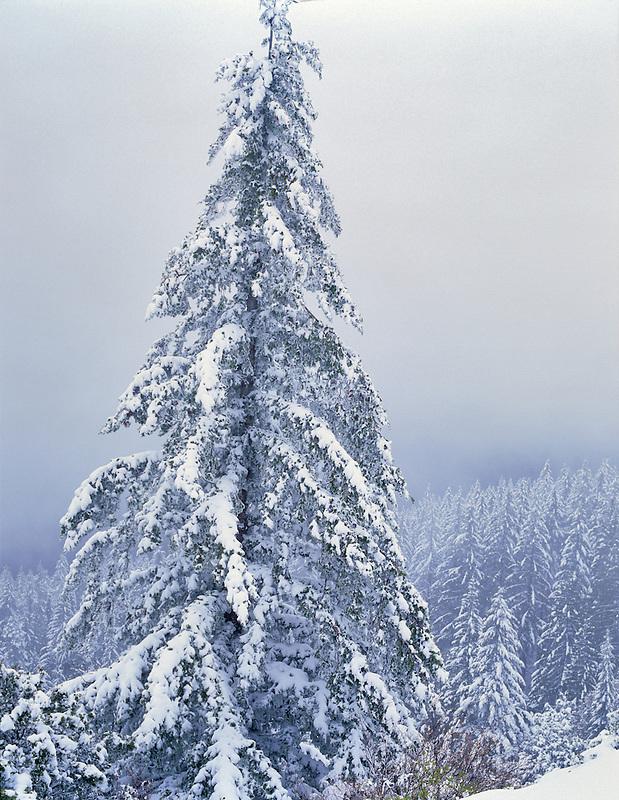 Hemlock tree after heavy snowfall. Siskyou National Forest, Oregon.