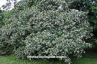 63808-030.02 Gray Dogwood (Cornus racemosa) bush with berries, Marion Co, IL