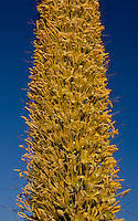 In early morning light the Agave inflorescence is a beautiful sea of yellow.  Agave vilmoriniana, octopus agave.