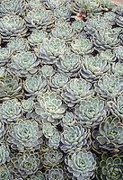 Echeveria imbricata succulent drought tolerant Hen & Chicks plant with blue gray rosettes foliage making a spreading groundcover for desert like gardens