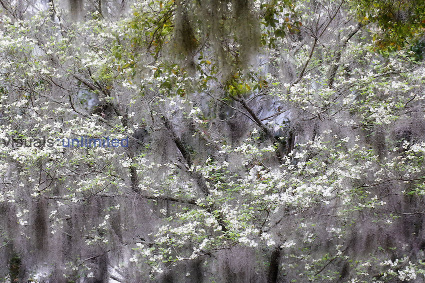 Flowering Dogwood Tree (Cornus florida) and Spanish Moss, Charleston, South Carolina, USA.