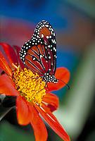 DANAUS GILIPPUS, Queen Butterfly, nectoring on Mexican Sunflower.    subfamily - Danainae;     family - Nymphalidae;   order - Lepidoptera;      class - Insecta;      phyllum - Arthropoda;     kingdom - Animalia. NEW ORLEANS LOUISIANA USA AUDUBON ZOO.