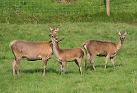 Red Deer at the Bowland Wild Boar Park, Chipping, Preston, Lancashire.