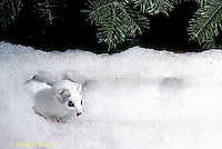 MA02-022x  Short-Tailed Weasel - ermine exploring tunnels in snow for prey in winter - Mustela erminea