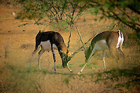 A rare sight, two Black Bucks in a very serious fight. The fight went on for sometime creating  some great photo opportunities.<br />