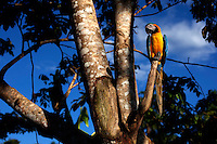A parrot perched in a tree beside the Boanamo River.