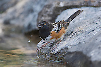 Spotted Towhee, Pipilo maculatus, male drinking, Uvalde County, Hill Country, Texas, USA, April 2006