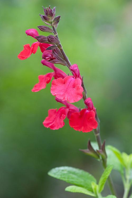 Salvia x jamensis 'La Foux', mid June. Also known as Salvia microphylla var. microphylla 'La Foux'.
