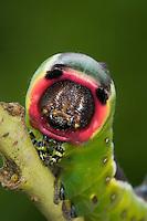 Großer Gabelschwanz, Raupe, Cerura vinula, Dicranura vinula, puss moth, caterpillar, La Queue fourchue, Vinule, Grande harpie, Zahnspinner, Notodontidae