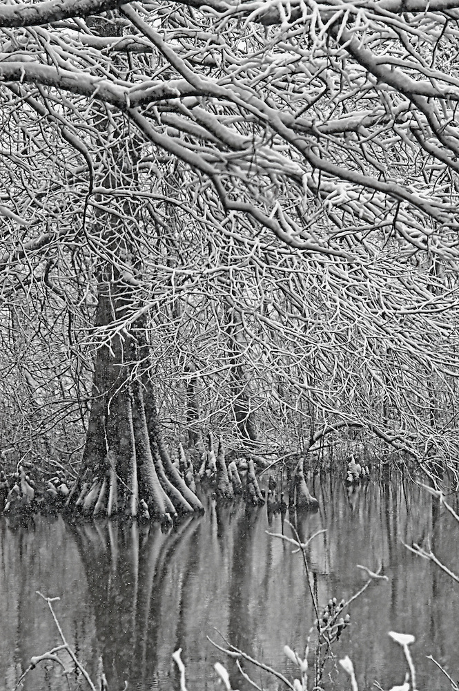 Cypress Trees on Lake in Snow