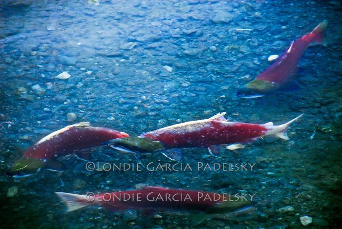 Salmon in the Kalsin River, Kodiak Island, Alaska