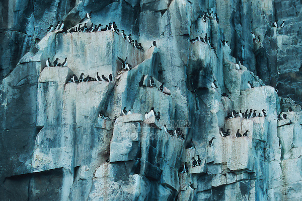 Thick-billed Murre (Uria lomvia), breeding colonie in cliff, Hinlopen Strait, Svalbard, Spitsbergen, Norway, Arctic
