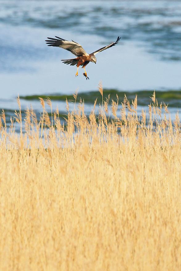 Marsh Harrier (Circus Aeruginosus), Texel, the Netherlands