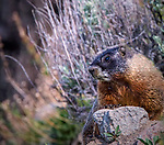 Marmots are seen frequently in Yellowstone.
