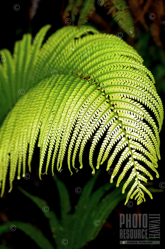 A close-up of a native hapu'u fern frond in a rainforest at Hawai'i Volcanoes National Park; hapu'u ferns grow from sea level to a 6,000-ft. elevation on the eastern side of the Big Island.