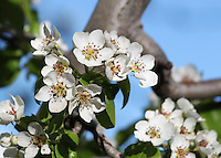 Stock photo: white cherry blossom flowers stems against clear blue sky on the Troodos mountains in Cyprus.