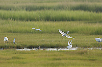 Egrets etc. feedingin salt marsh pool; NJ, Cape May County, Avalon