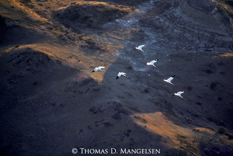 Aerial of whooping cranes flying over North Dakota.