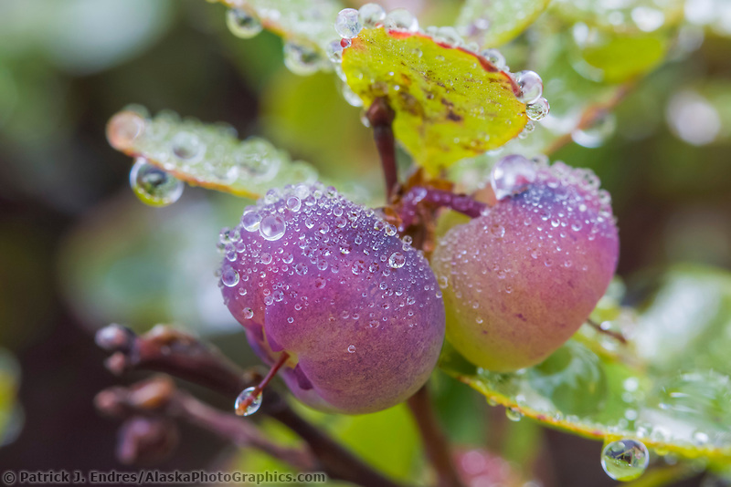Morning dewdrops on ripe blueberries in the tundra of Denali National Park, Alaska