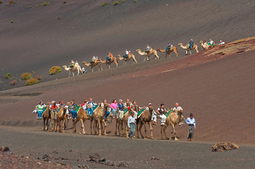 Dromedary Camels (Camelus dromedarius) exploited in Lanzarote, first in agriculture, and right now, in tourism, in the Timanfaya National Park, Lanzarote Island, Canary Islands, Spain.