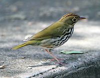 Ovenbird in fall migration