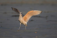 Long-billed Curlew (Numenius americanus parvus), adult foraging on Cayucos Beach in Cayucos, California.