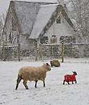 Vashon Island, WA<br /> Sheep in an early spring snow storm