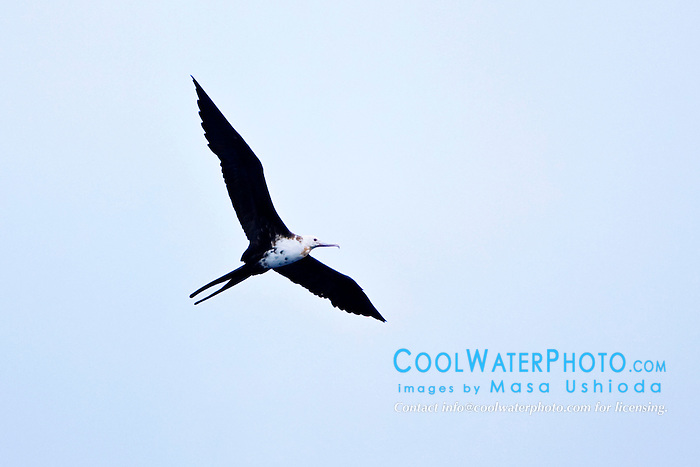 Great Frigatebird or `Iwa in Hawaiian, juvenile female, Fregata minor palmerstoni, hunting over porpoise school, off Kona Coast, Big Island, Hawaii, Pacific Ocean.