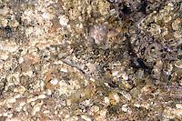 Shanny - Lipophrys pholis