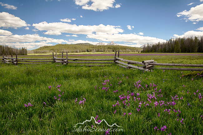 Idaho, South Central, Blaine County, Stanley. The Sawtooth Mountains peek abover the forested ridgeline and a field of purple wildflowers on a late spring day.