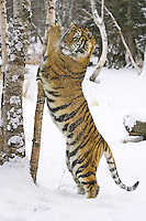 Siberian Tiger shaking some snow out of a birch tree - CA